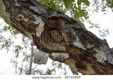 Birch Trunk With Hollow, Hole