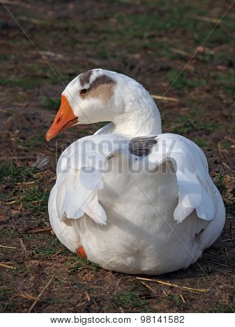 White domestic goose on natural background