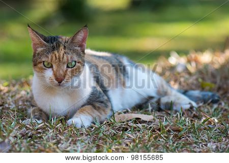 Tri Colored House Cat Lying Down On The Lawn