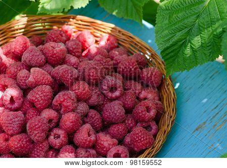 Fresh Raspberries, Harvesting In The Garden