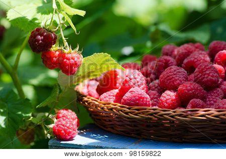 Raspberries In A Wicker Plate, Harvesting