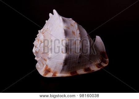 sea shell on black background