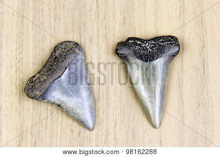 Megalodon Sharks Teeth Fossil