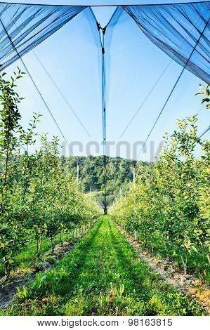 Apple Trees Farm By Summer