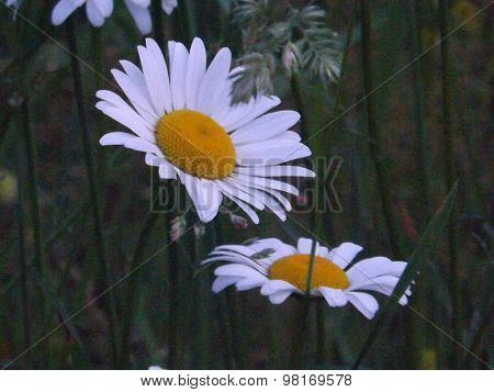 Daisys in the Spring