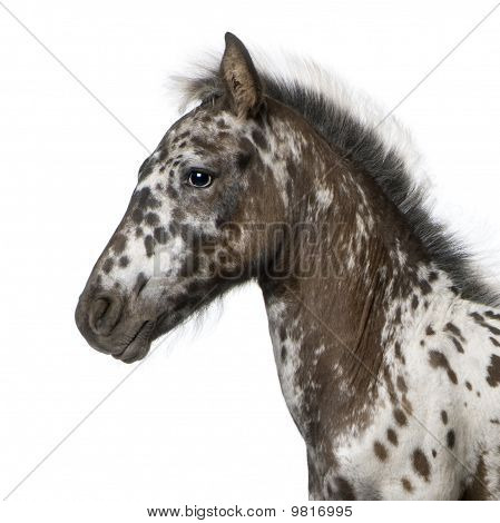 Crossbreed Foal Between A Appaloosa And A Friesian Horse, 3 Months Old, Standing In Front Of White B