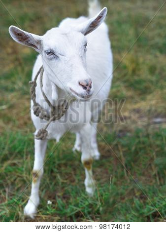 little goat on the grass
