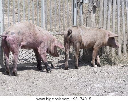 pigs walking through the village