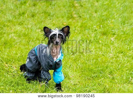 Chinese crested dog runs.