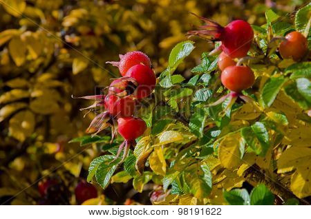 Briar, Wild Rose