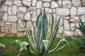 picture of spiky plants  - Agave plant - JPG