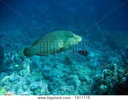 Napoleon Fish.