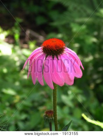 Single Echinacea Purple Coneflower