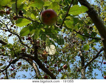 Plants  Apples 001