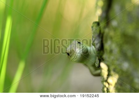 Small lizard behind a tree