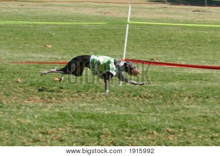 Italian Greyhound Racing1