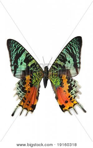 The Sunset Moth in multiple colors isolated on a white background