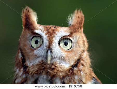 Red-Face Screech Owl