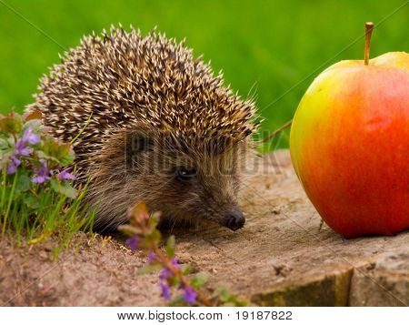 Hedgehog and apple on the tree stump