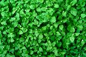 Background Of Fresh Green Leaves. Green Leaves Background. Green Background With Leaves. Flat Lay, F poster