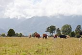 Grazing Cows - New Zealand