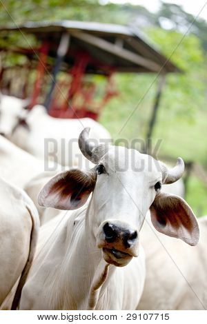 Zebu cow at a cattle farm or ranch