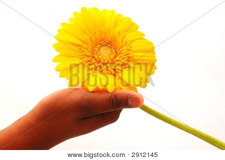 Yellow Flower In Black Hand