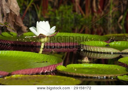 Giant Water Lily (victoria Amazonica)