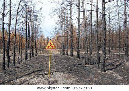 Dead forest.Near Chernobyl area.Kiev region,Ukraine