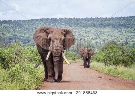 Two Big African Bush Elephants