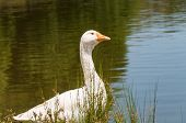 Portrait Of White Domestic Goose Bird Near The Pond, Lake. Domestic Fowl Near The Water Outdoor Rura poster