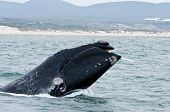 stock photo of australie  - A Southern Right Whale breaching just off the coast of Hermanus in South Africa - JPG