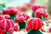 Beautiful Red Color Moon Cactus Garden, Plant Propagate Grow By Grafting And Scion, Red Color Moon C poster