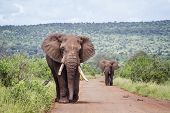 Two Big African Bush Elephants Walking On Safari Road In Kruger National Park, South Africa ; Specie poster