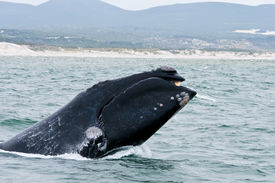 foto of gentle giant  - A Southern Right Whale breaching just off the coast of Hermanus in South Africa - JPG