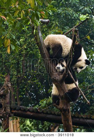 Panda Bears Climbing