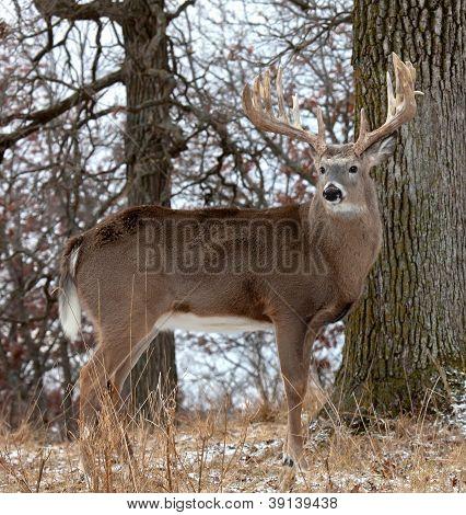 Whitetail buck profile