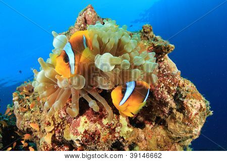 Pair of Red Sea Anemonefish with cleaner shrimps