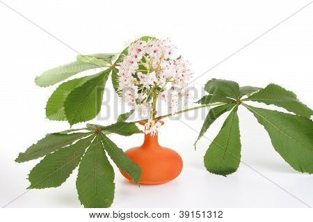 Horse Chestnut Flower In A Vase On A White Background