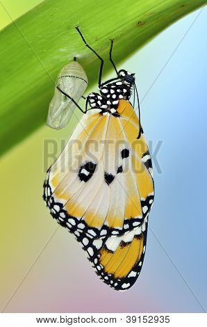 Butterfly on leaf after emerging from an chrysalis