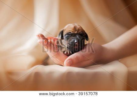 cute newborn puppy in the hands