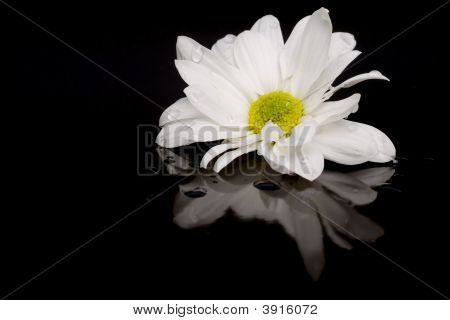 White Daisy On Black With Reflection