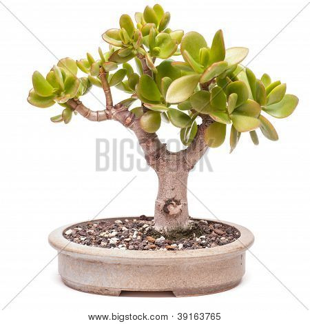 Money Tree (crassula Ovata) As Bonsai