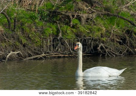 White mute swan swimming in Ditch nature at the Biesbosch