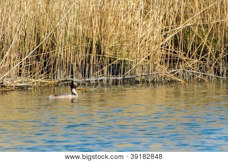 Great Crested Grebe swimming in Dutch nature Biesbosch