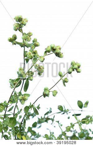 Marjoram (Origanum majorana)