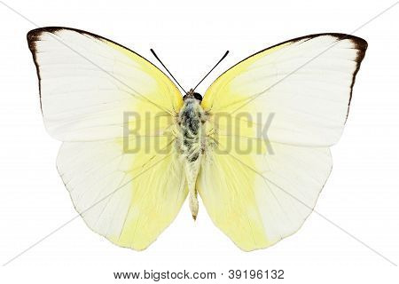 Butterfly Species Phoebis Statira