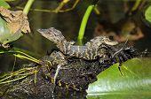 picture of alligator baby  - American babies Alligators - JPG