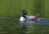 picture of loon  - Adult common loon with two chicks beside her - JPG
