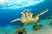 stock photo of hawksbill turtle  - Hawksbill Sea Turtle comes face to face with camera in Eilat - JPG